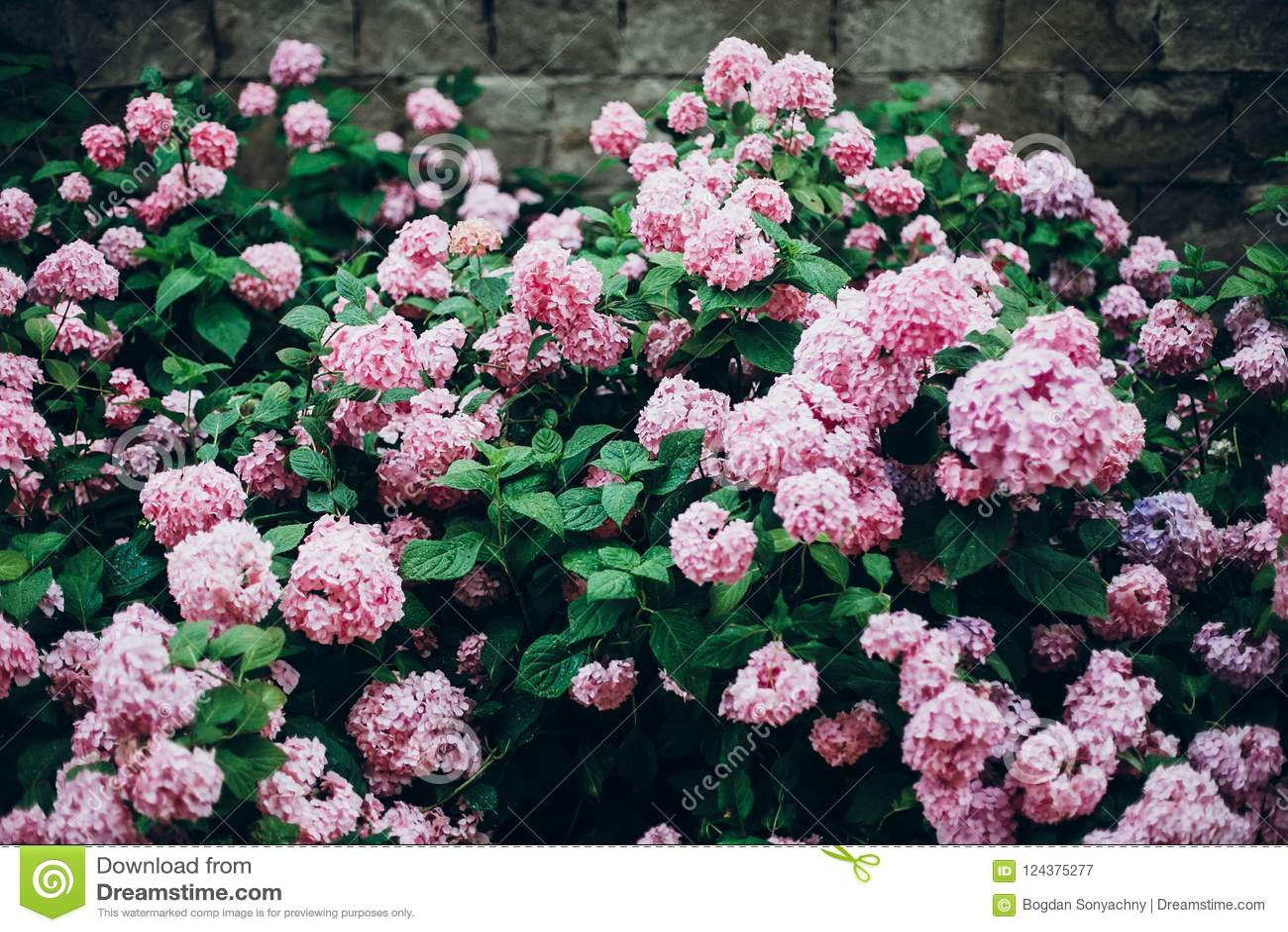 Hydrangeas Big Beautiful Hydrangea Pink Bushamazing Flowers In