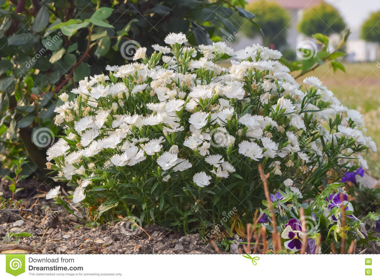 Hydrangeas Flowers On A Spring Morning In Chaukori Hill Station Of
