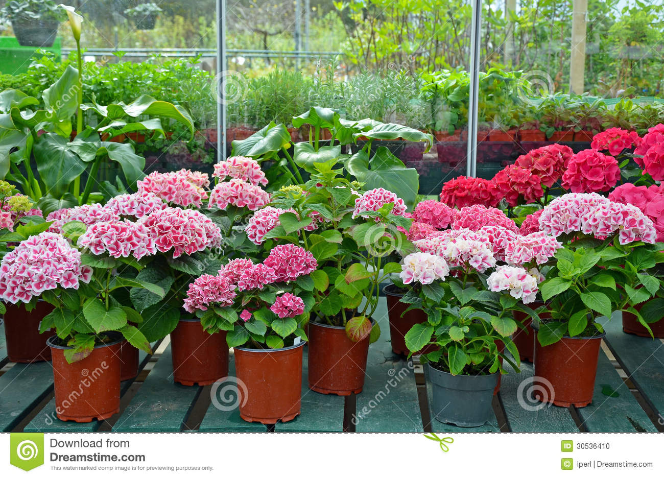 Beautiful pink flowers in the garden stock photography image - Hydrangeas In Garden Shop Stock Photo Image 30536410