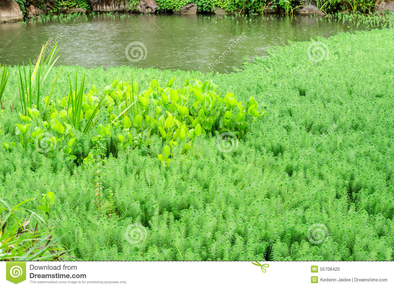 Hydrilla and water hyacinth in pond stock photo image for Green water in pond