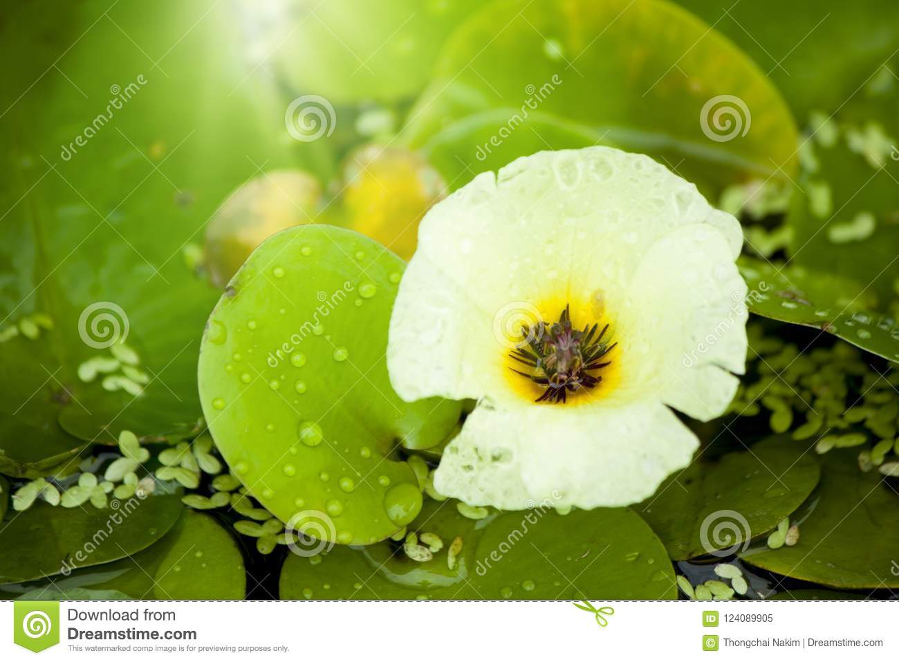 Hydrocleys Nymphoides Willd Buchenau Stock Image Image Of Floral