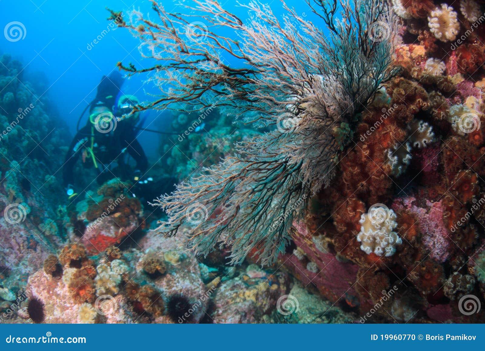 Hydroids sous l eau en mer du Japon et de plongeur