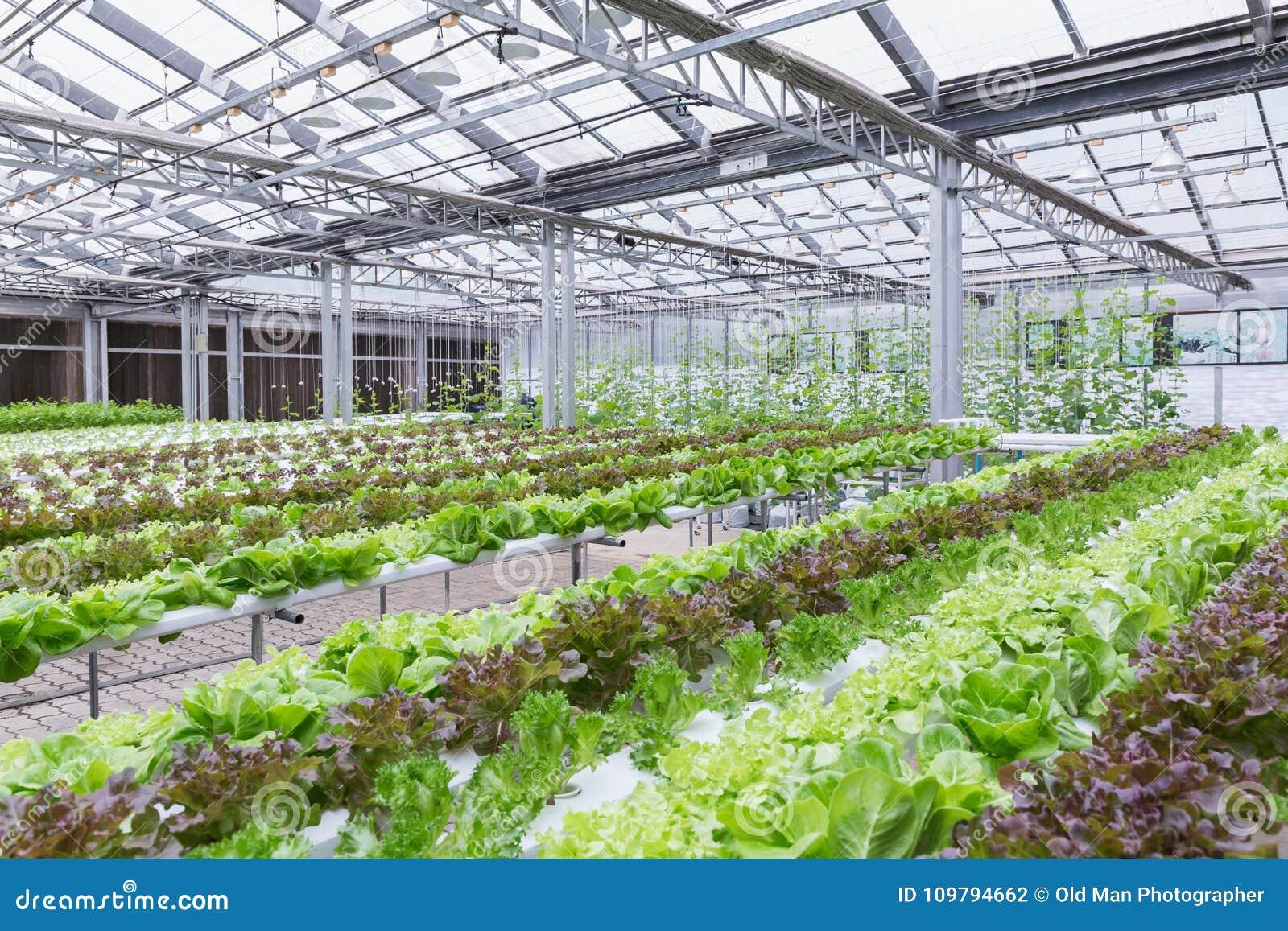 Hydrokulturväxthus Organisk grön grönsaksallad i hydrokulturlantgården för hälso-, mat- och jordbrukbegreppsdesign