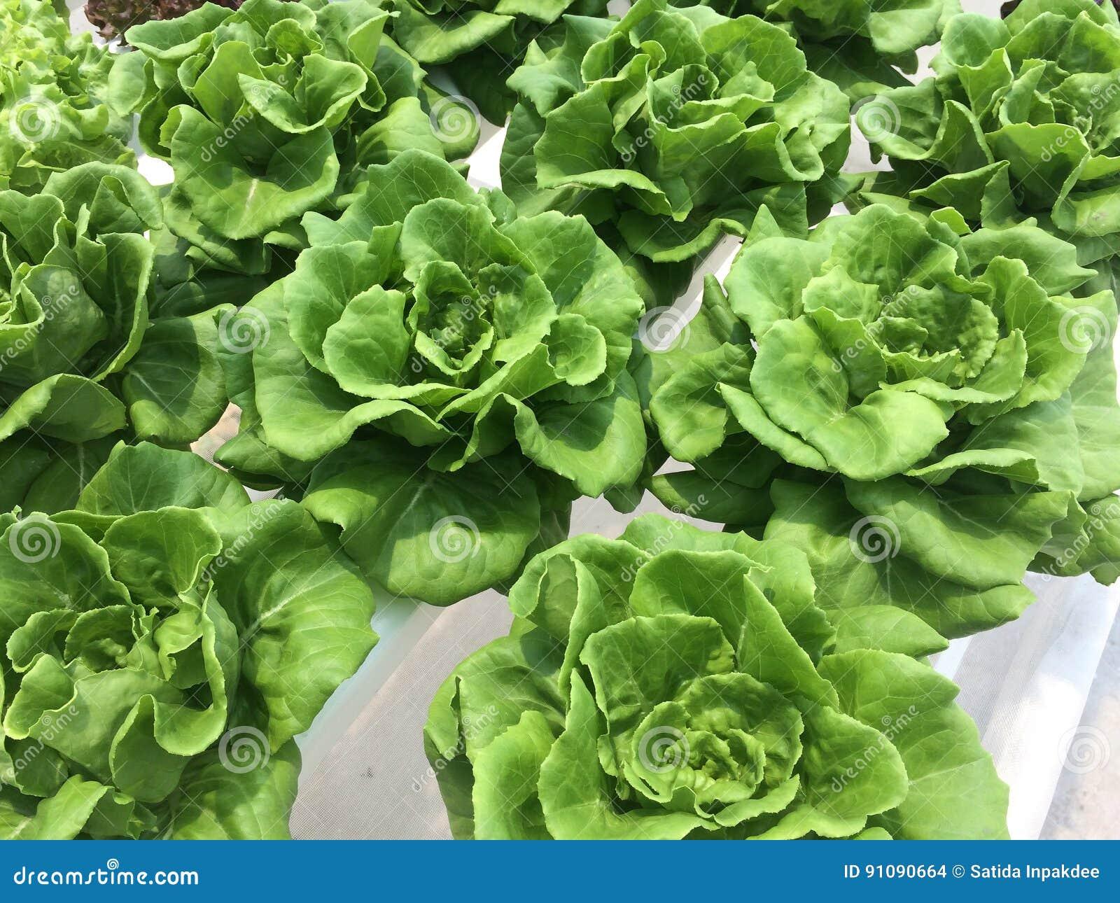 Hydroponic grönsak