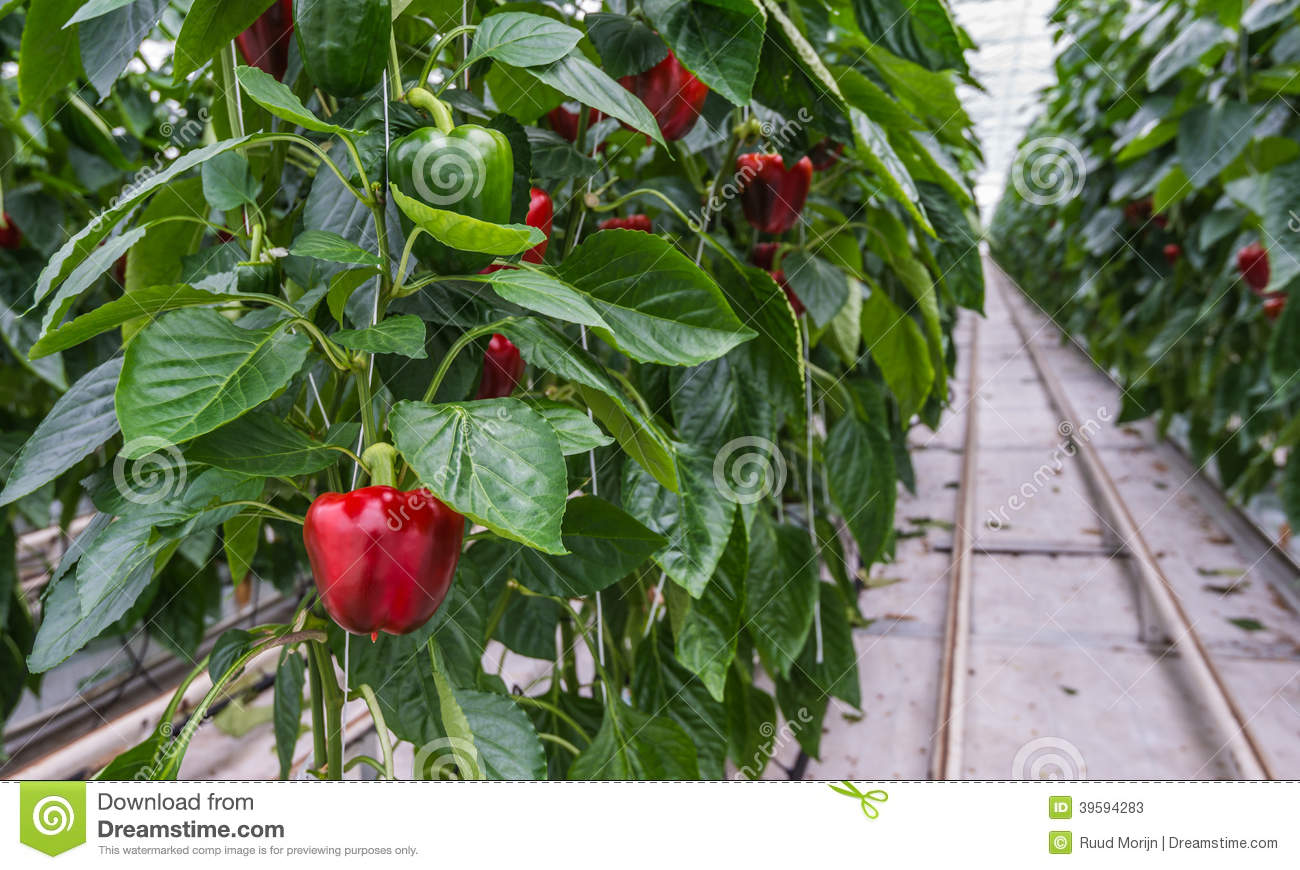 Hydroponic cultivation of Red Peppers or Capsicum annuum in a Dutch ...