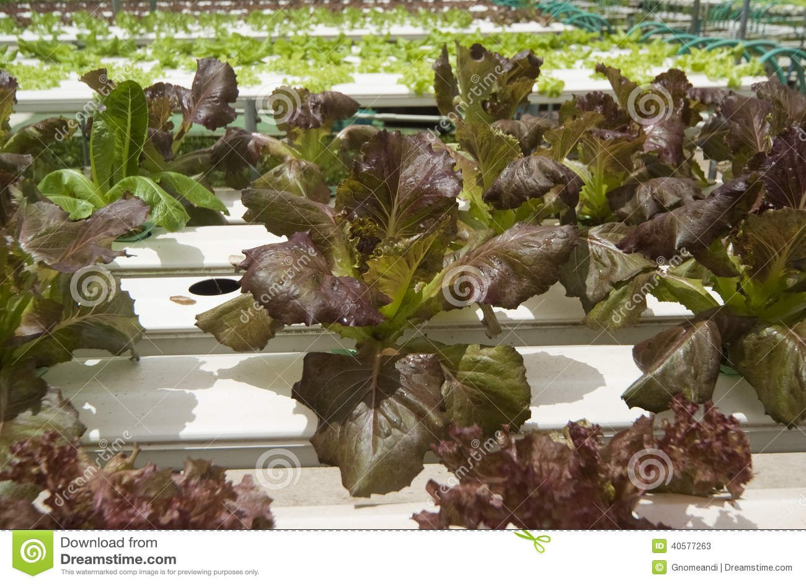 Hydroponic Vegetable садовничать