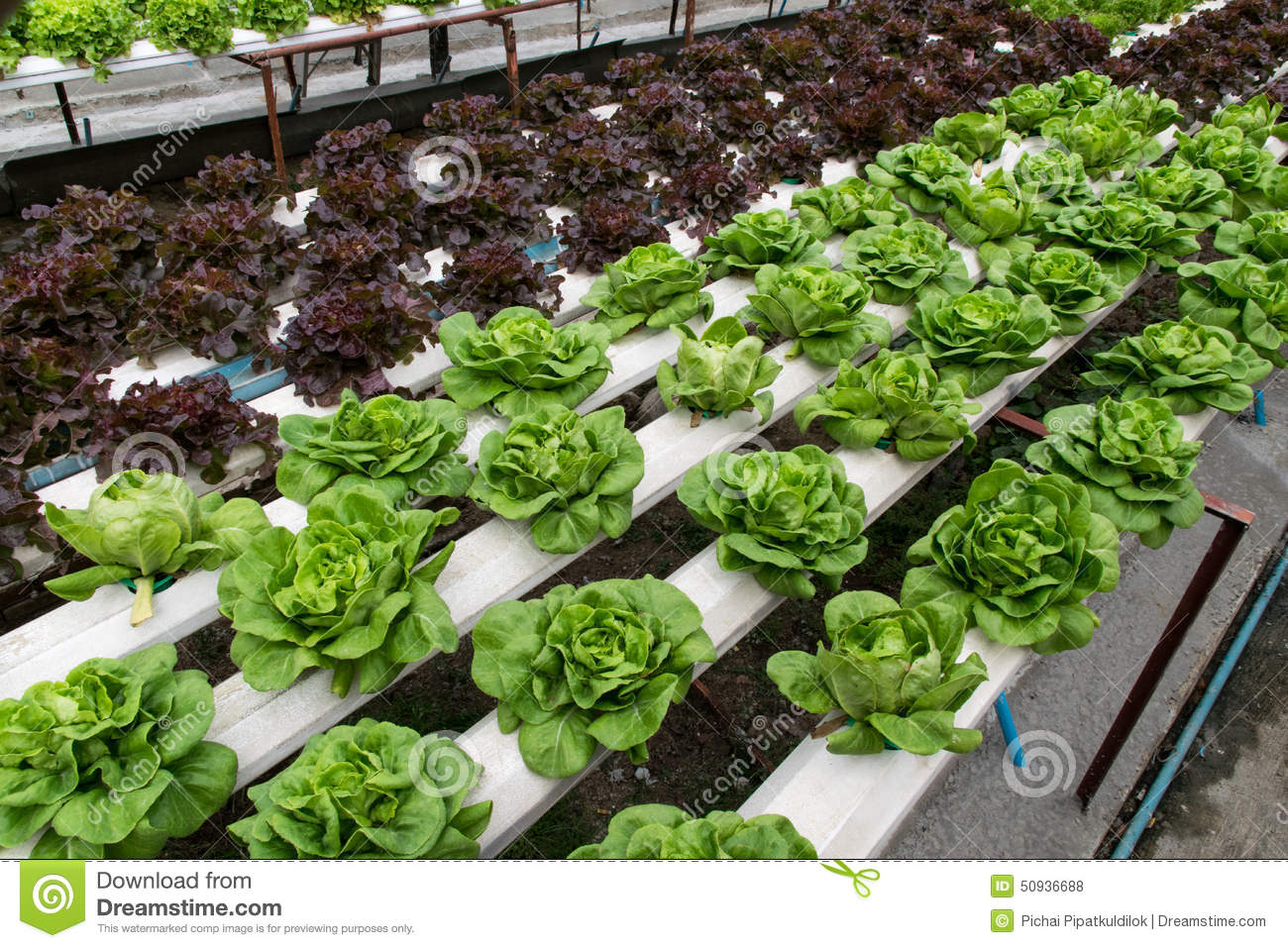 Hydroponic Vegetables Growing In Greenhouse Royalty Free Stock Photos