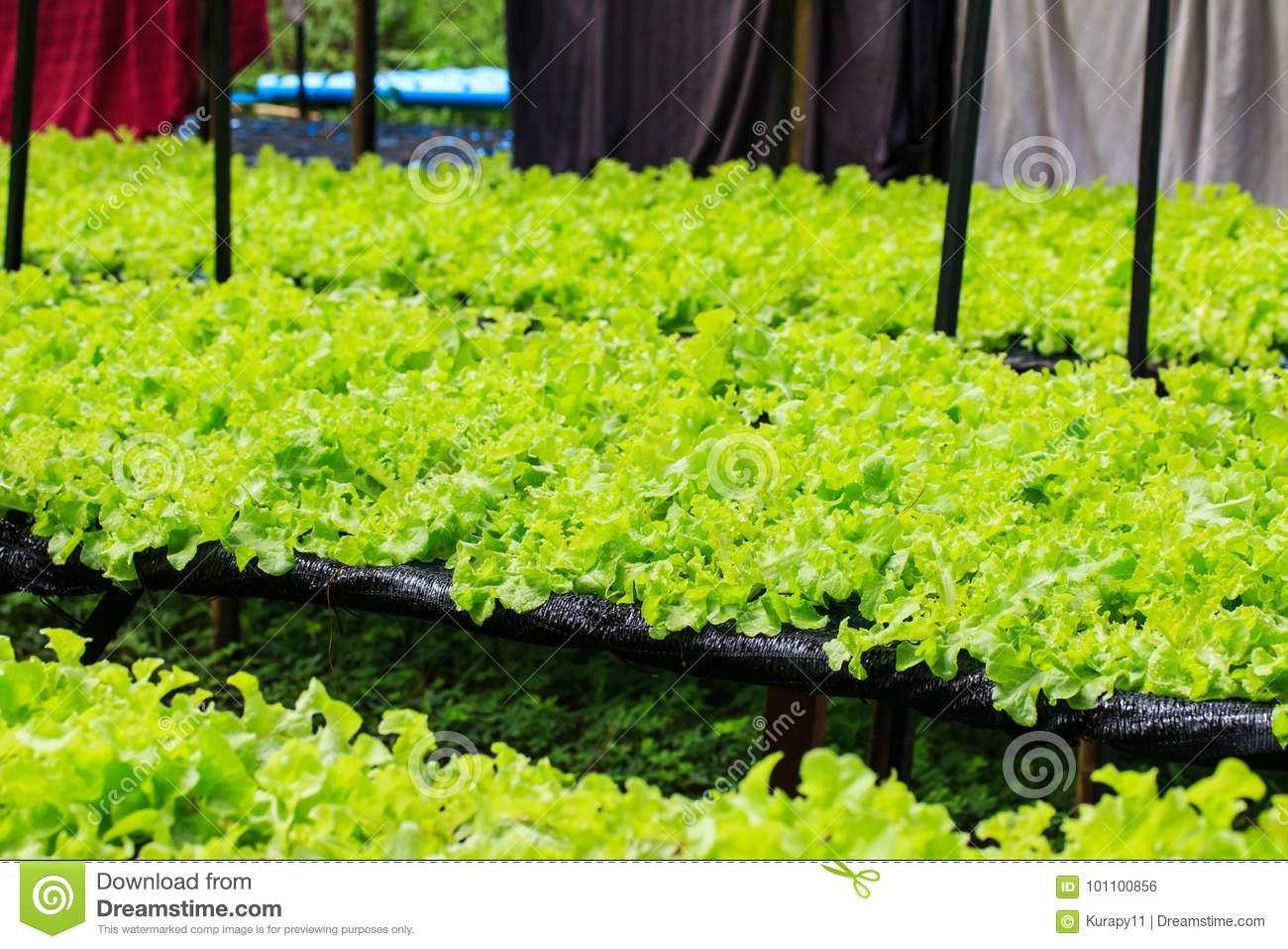 Hydroponic vegetables growing.