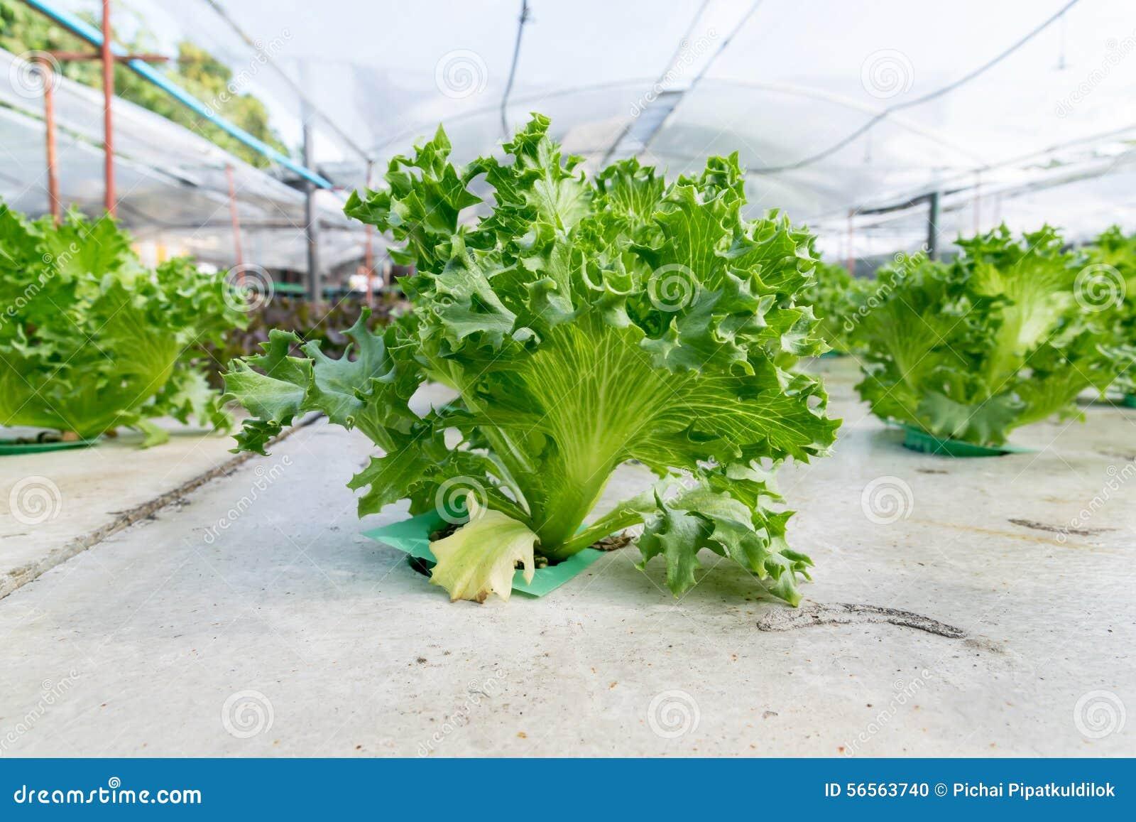 Hydroponics καλλιέργειας πράσινο λαχανικό στο αγρόκτημα