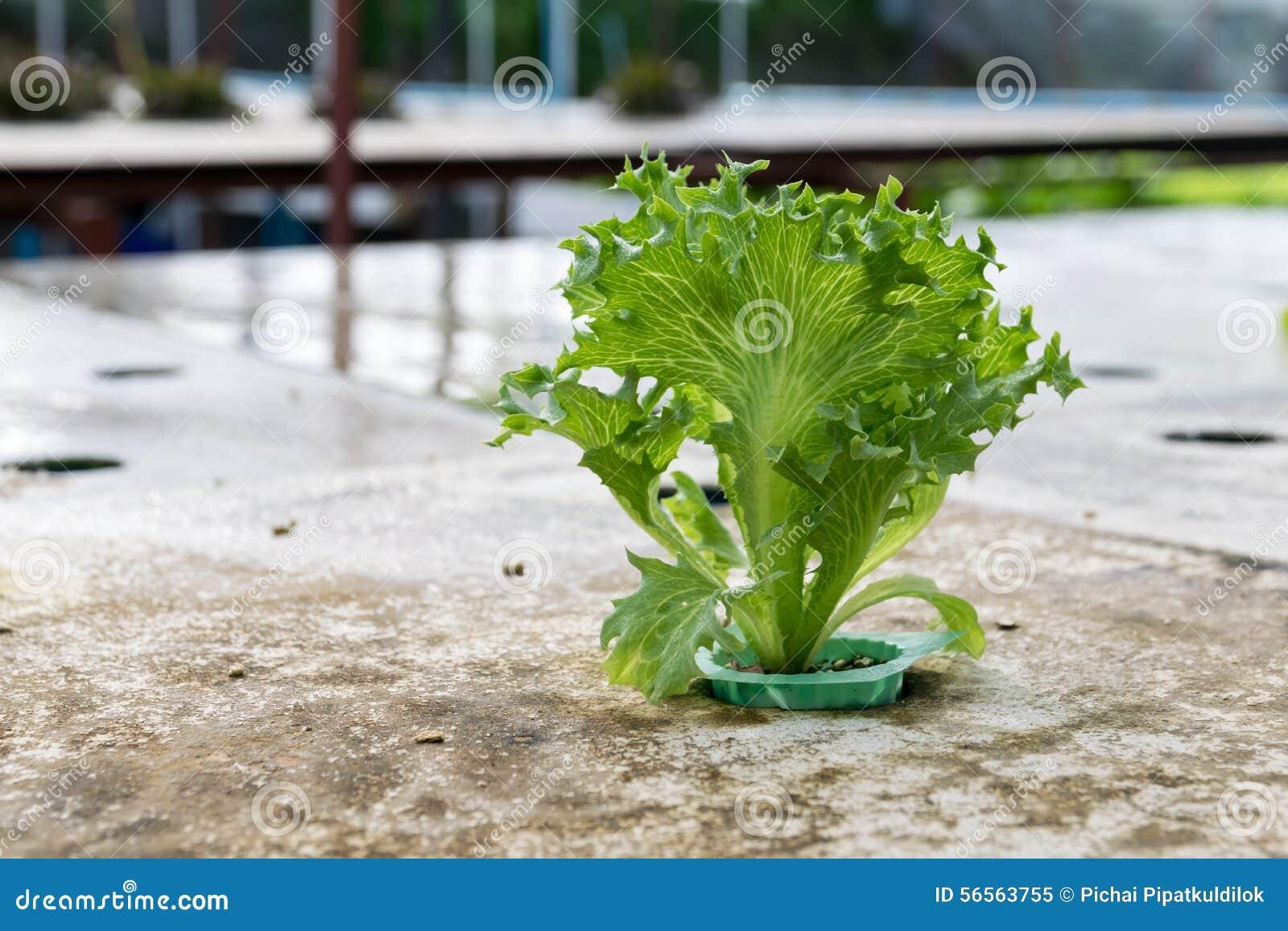 Download Hydroponics καλλιέργειας πράσινο λαχανικό στο αγρόκτημα Στοκ Εικόνα - εικόνα από σαλάτα, γεωργίας: 56563755