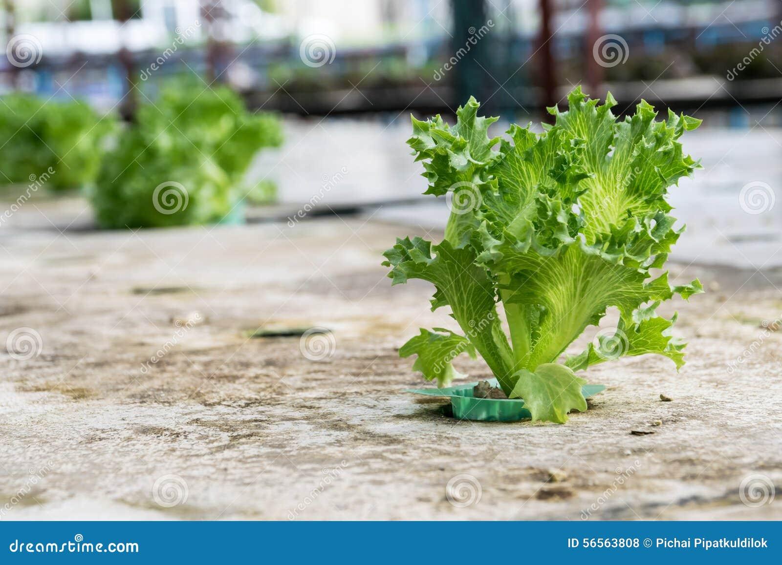 Download Hydroponics καλλιέργειας πράσινο λαχανικό στο αγρόκτημα Στοκ Εικόνες - εικόνα από σειρά, τρόφιμα: 56563808