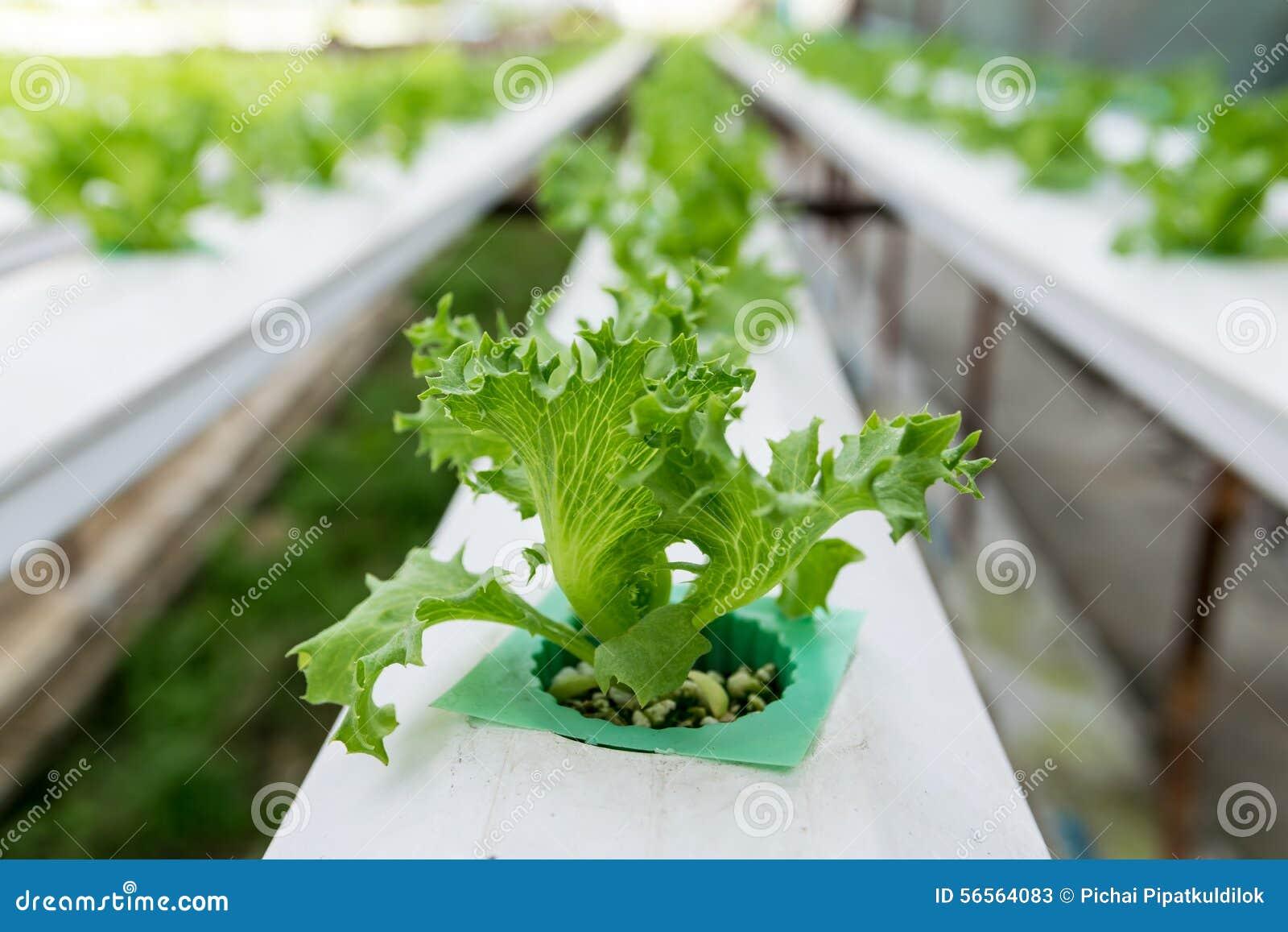 Download Hydroponics καλλιέργειας πράσινο λαχανικό στο αγρόκτημα Στοκ Εικόνα - εικόνα από φύση, γεωργίας: 56564083