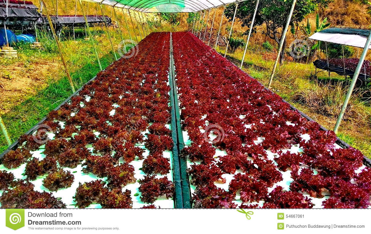 an analysis of the hydroponics in the growth of plants Hydroponic lettuce handbook this hydroponic greenhouse results in a predictable amount of daily growth by dr is used for plant biomass production and.