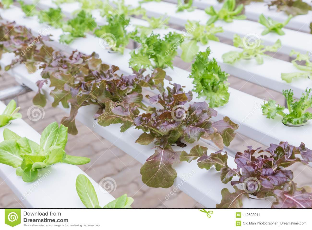 Hydroponics System Greenhouse And Organic Vegetables Salad In Farm