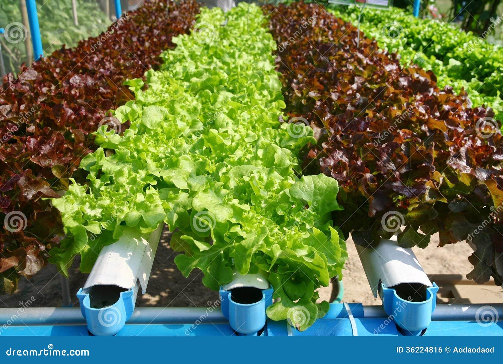 Hydroponics vegetable farming
