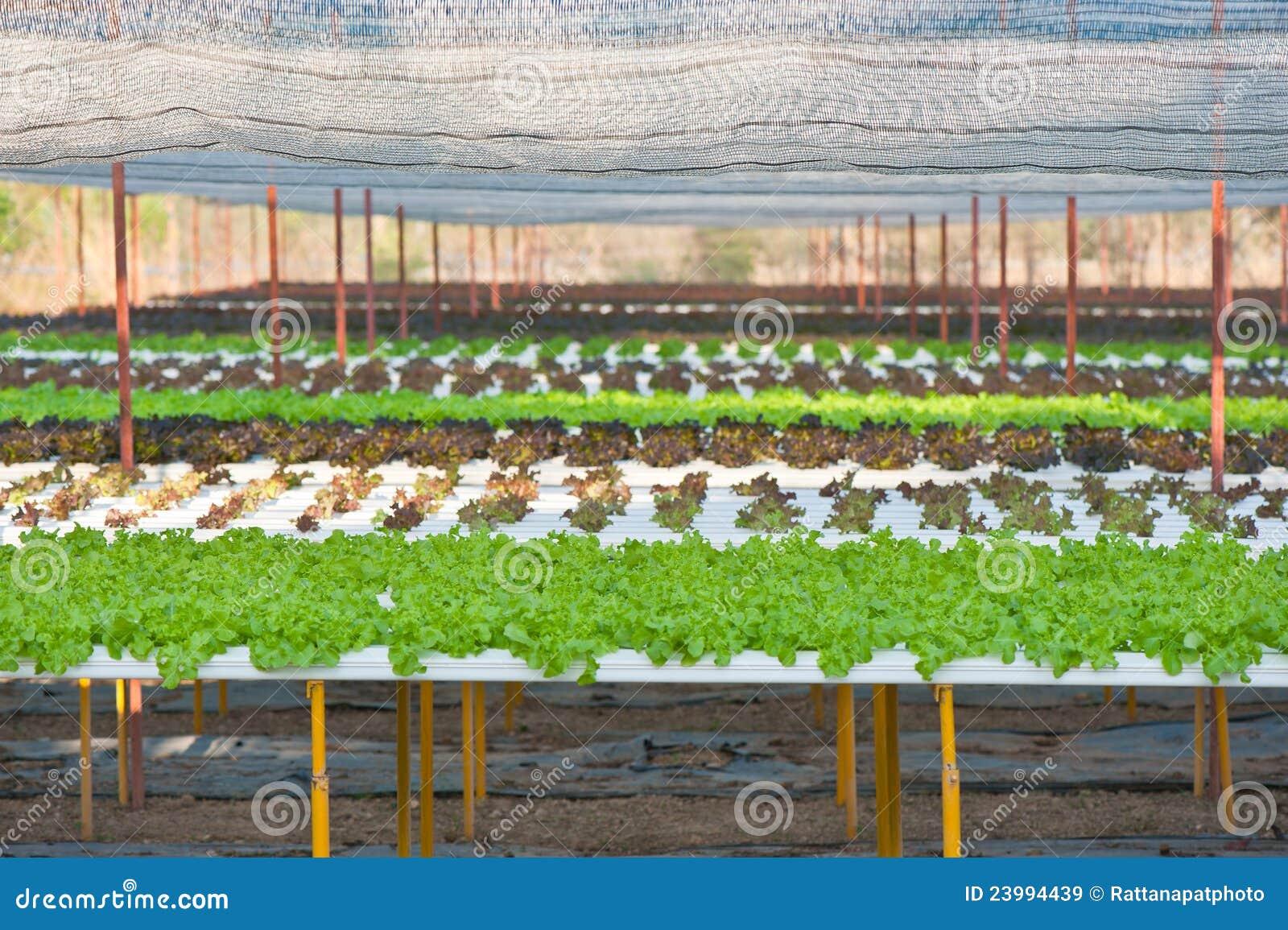О выращивание укропа на гидропонике 901