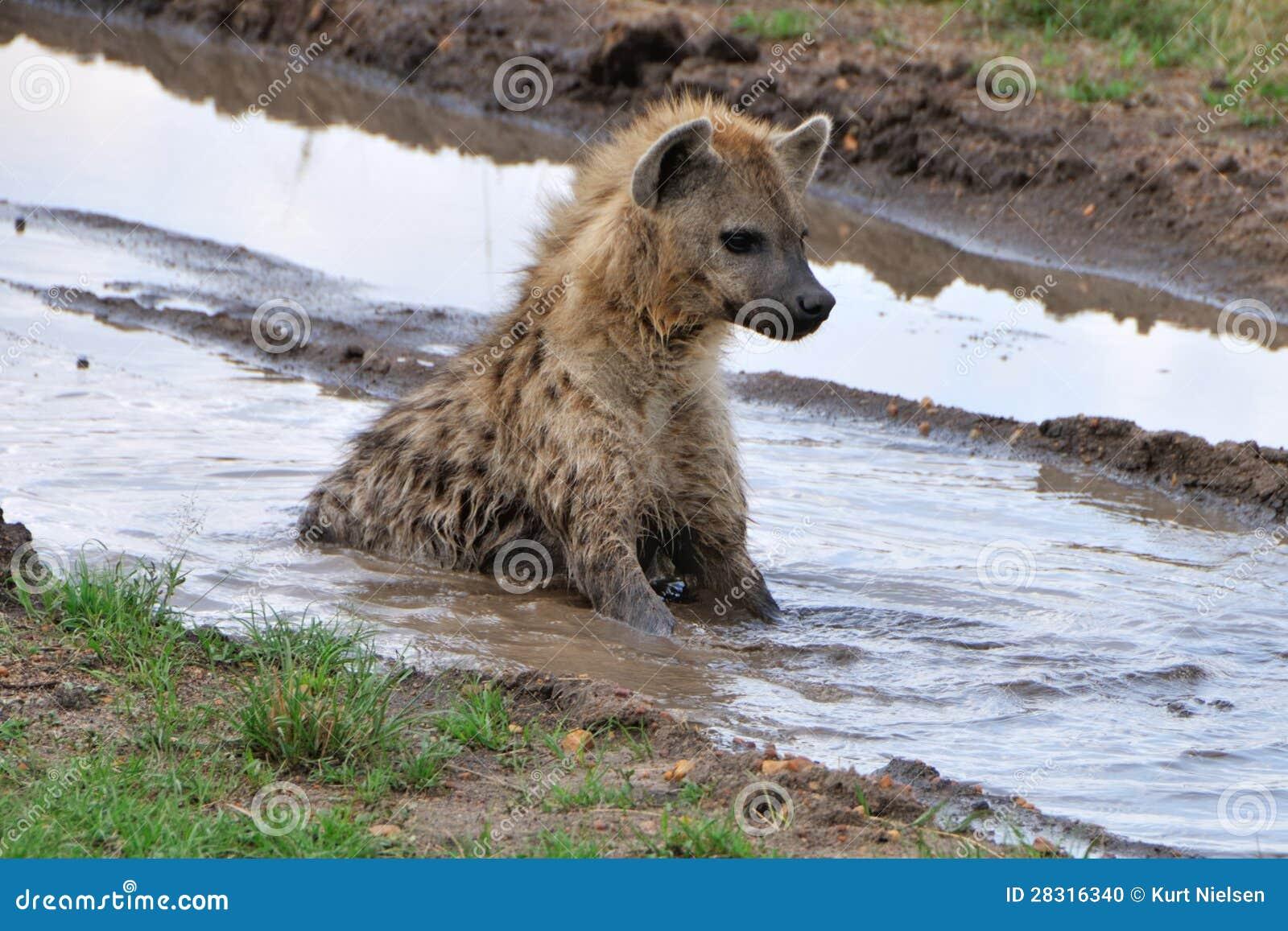 Hyena en agua fangosa
