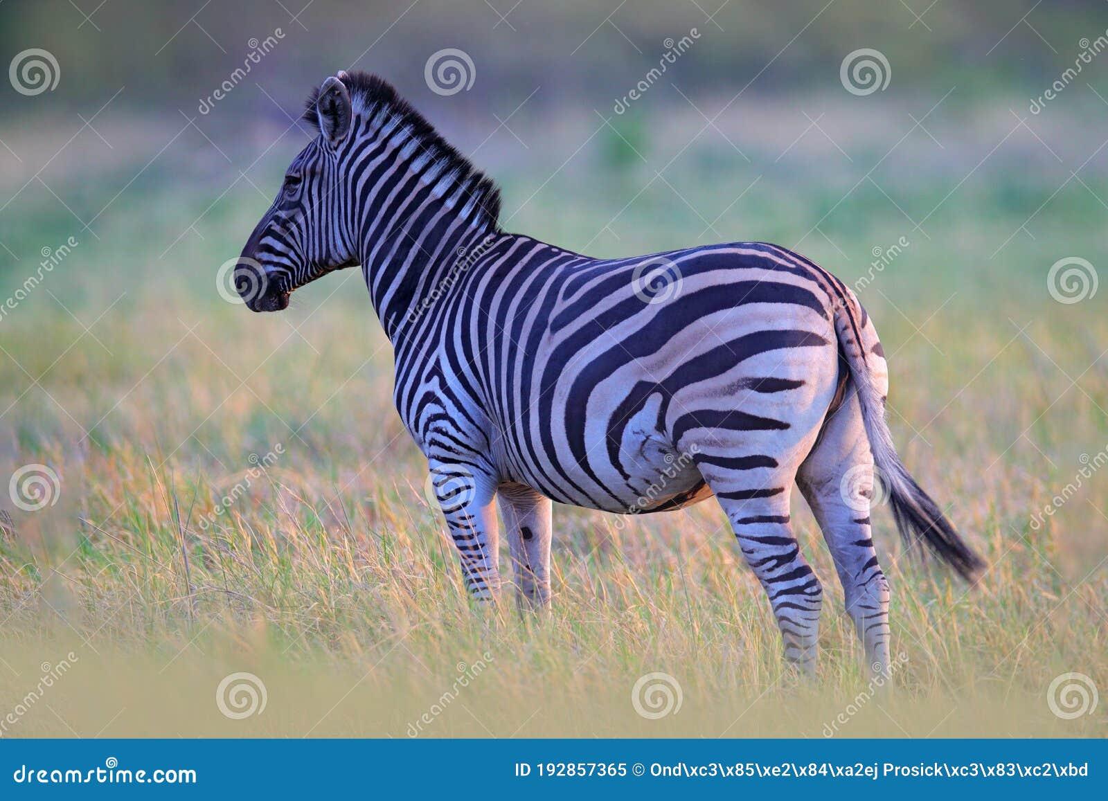 Zebra penis size