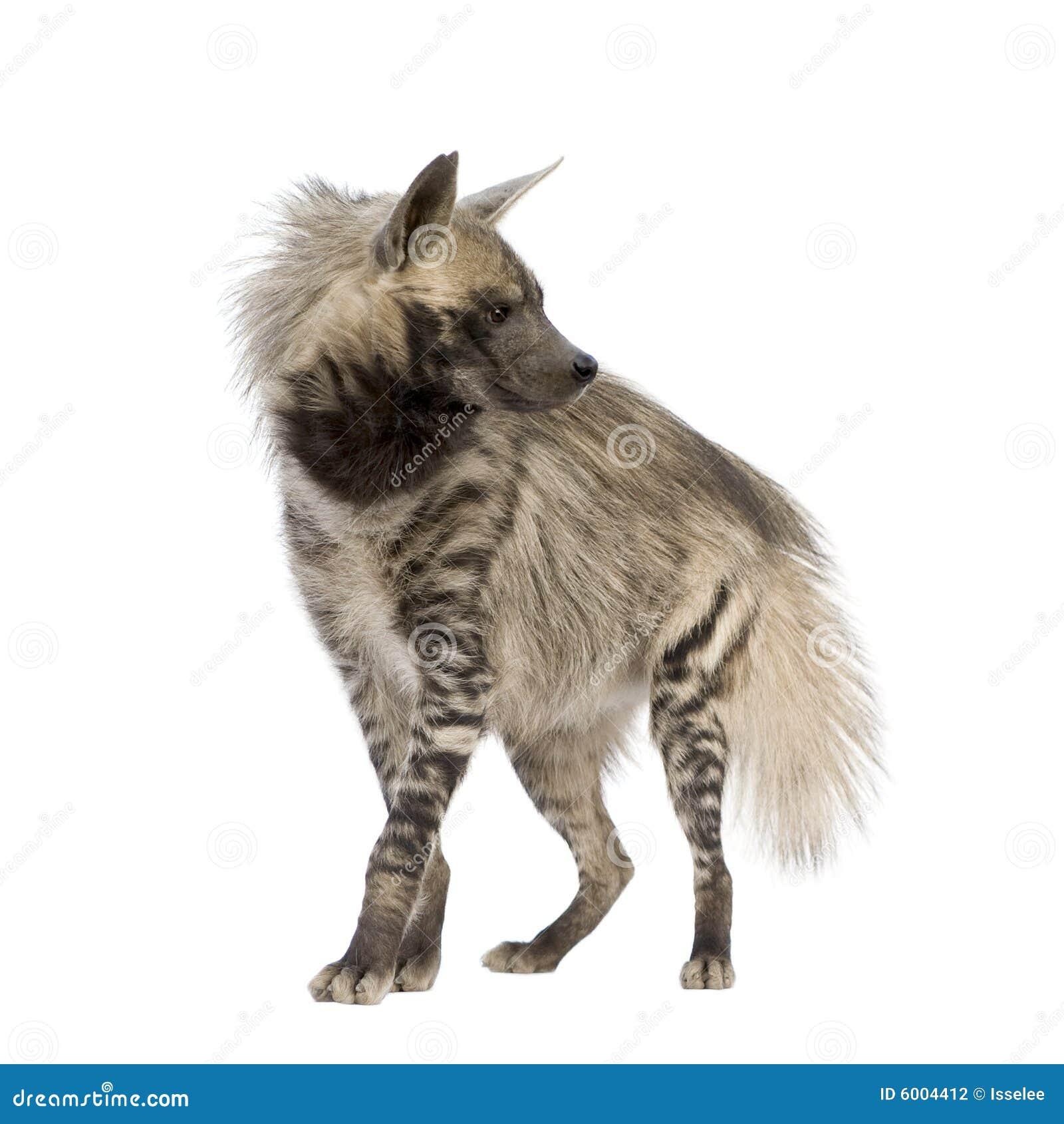 Hyena listrado - hyaena de Hyaena
