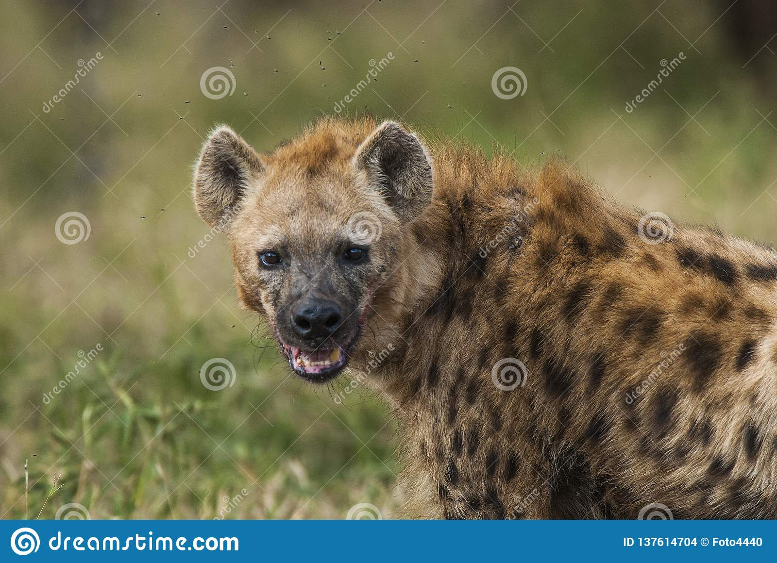 Hyena South Africa