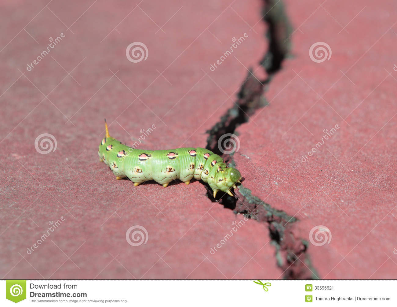 Large  green  hyles lineata caterpillar larvae of the white-lined    Hyles Lineata Caterpillar