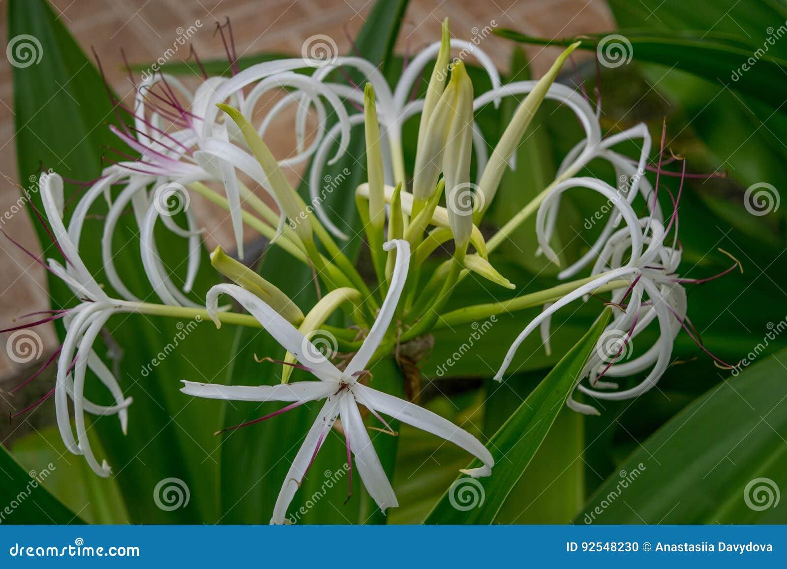 Hymenocallis Fleur Tropicale Blanche Avec De Longs Petales Minces