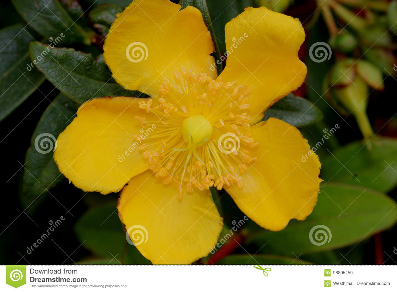 Hypericum calycinum st johns wort rose of sharon stock photo hypericum calycinum st johns wort rose of sharon small shrub with oval to oblong green leaves and 5 7 cm across yellow 5 petalled rose like flowers mightylinksfo