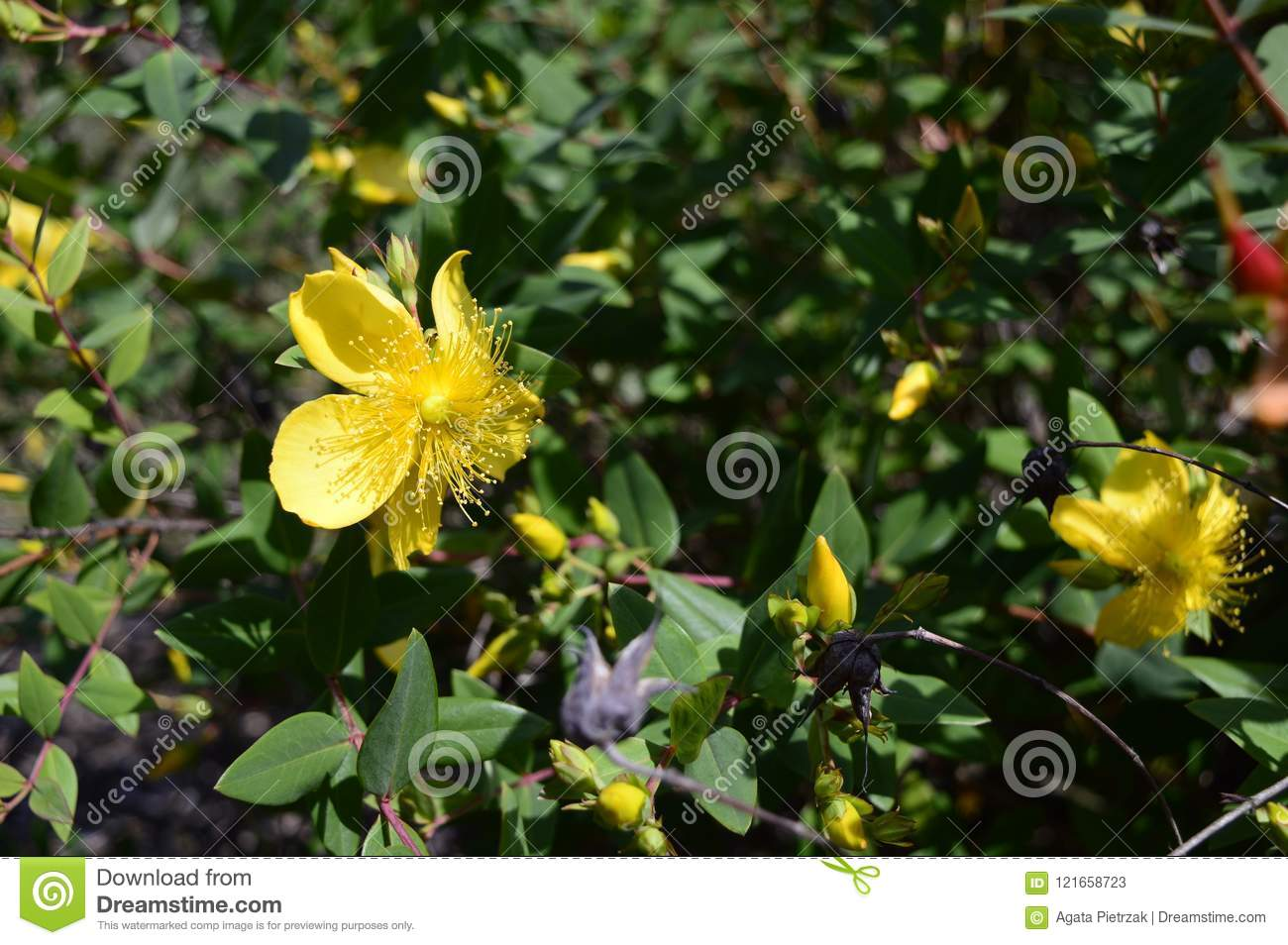 Hypericum Hidcote Small Evergreen Bush Stock Image Image Of