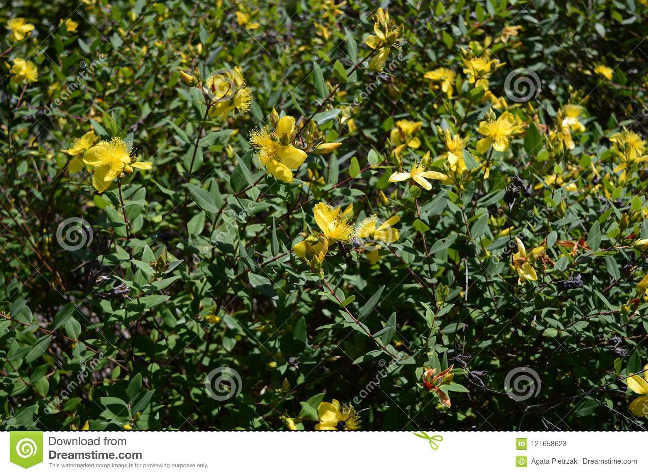 Hypericum Hidcote Small Evergreen Bush Stock Image Image Of Wort