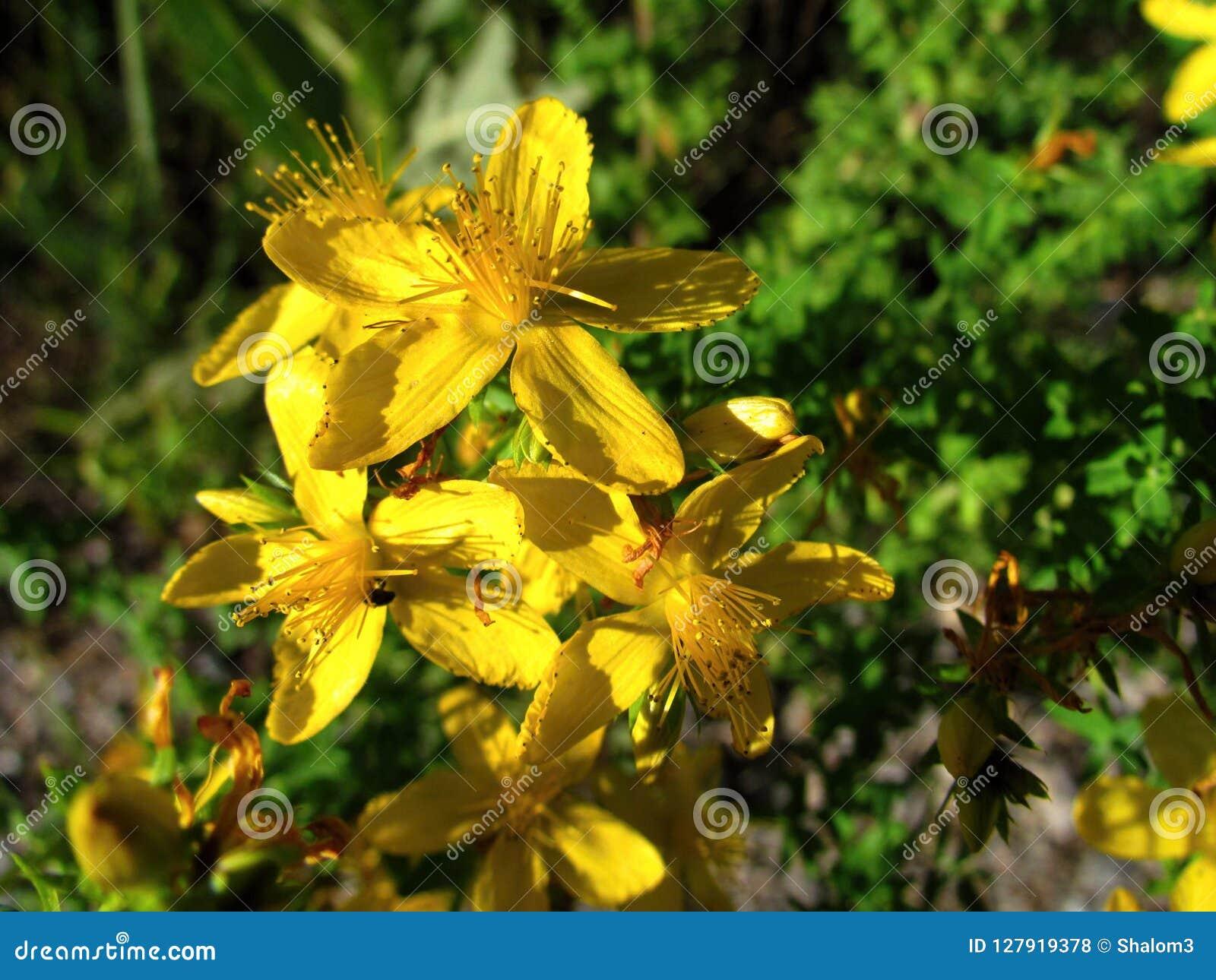 Fiori Gialli Medicinali.Hypericum Perforatum Primo Piano Giallo Del Fiore Una Pianta