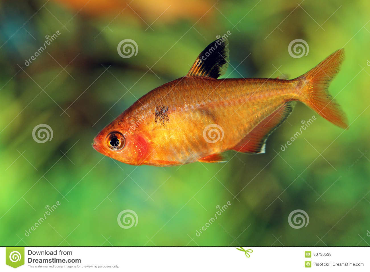 Hyphessobrycon pulchripinnis close up royalty free stock for Small pet fish