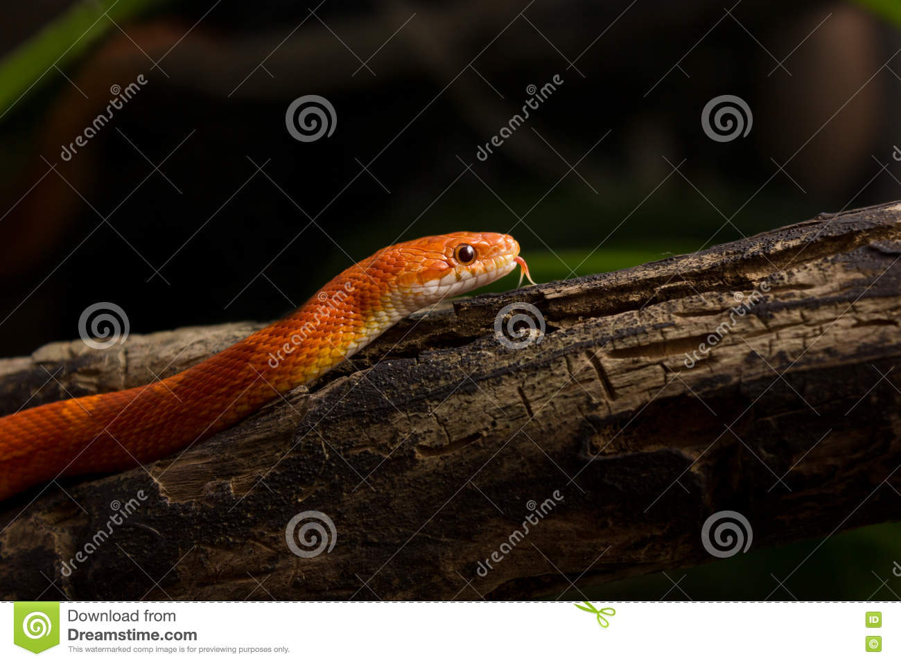 Hypo Bloodred Corn Snake Stock Image Image Of Color 72852941,How To Get Rid Of Flies In Potted Plants