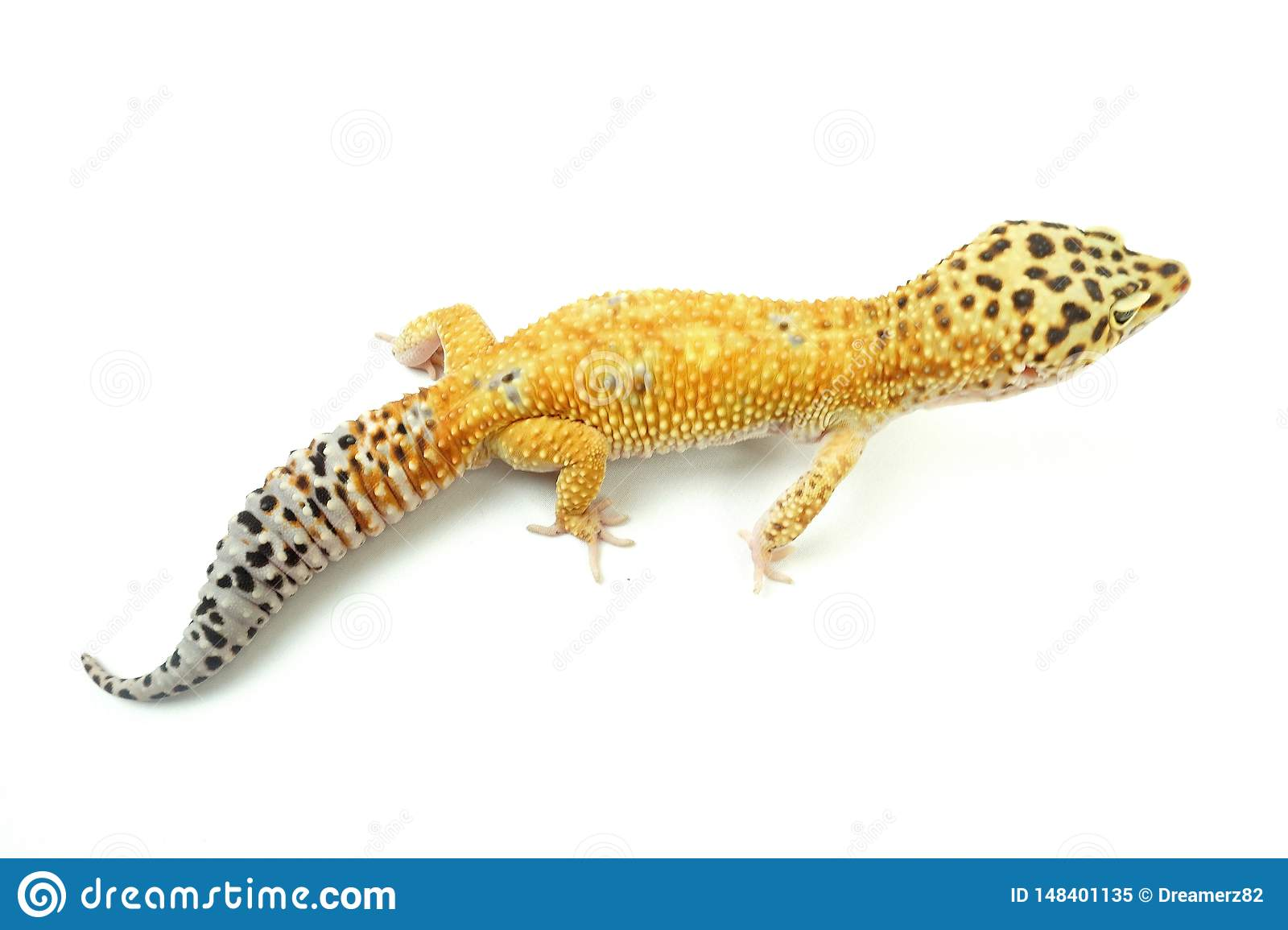 Hypo Tangerine Carrot Tail Leopard Gecko 07 Stock Image