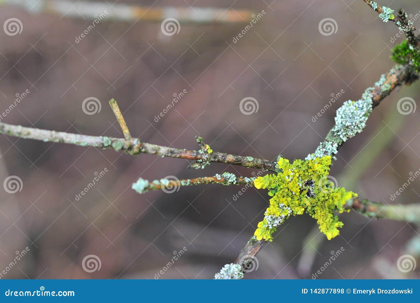 Hypogymnia physodes and Xanthoria parietina common orange lichen, yellow scale, maritime sunburst lichen and shore lichen