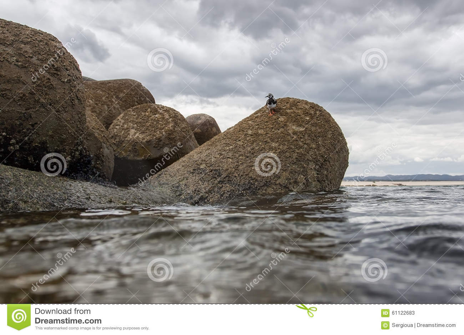 Hypoleucos do Actitis que andam nas pedras do Oceano Atlântico