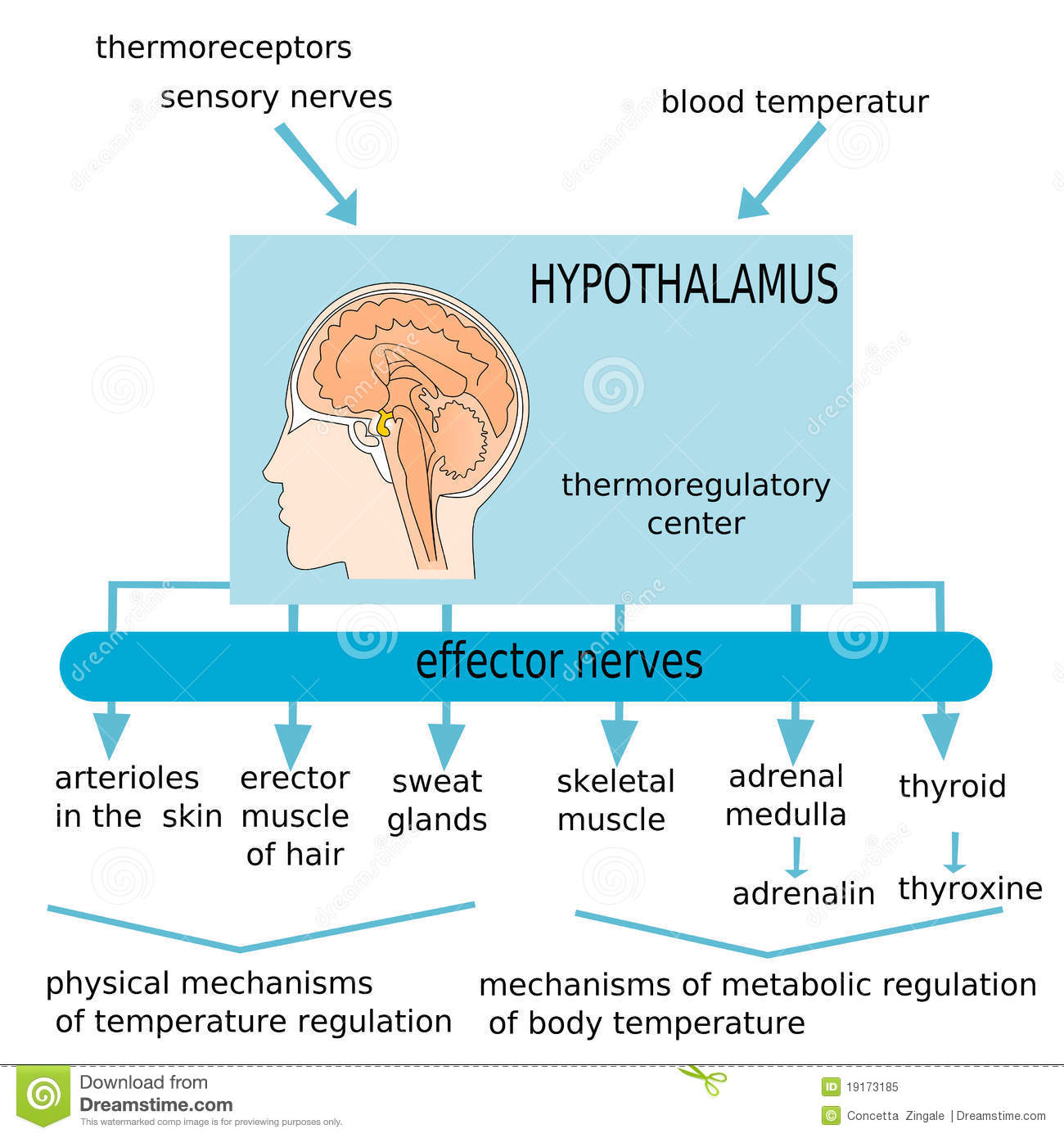 Hypothalamus Royalty Free Stock Photo Image 19173185