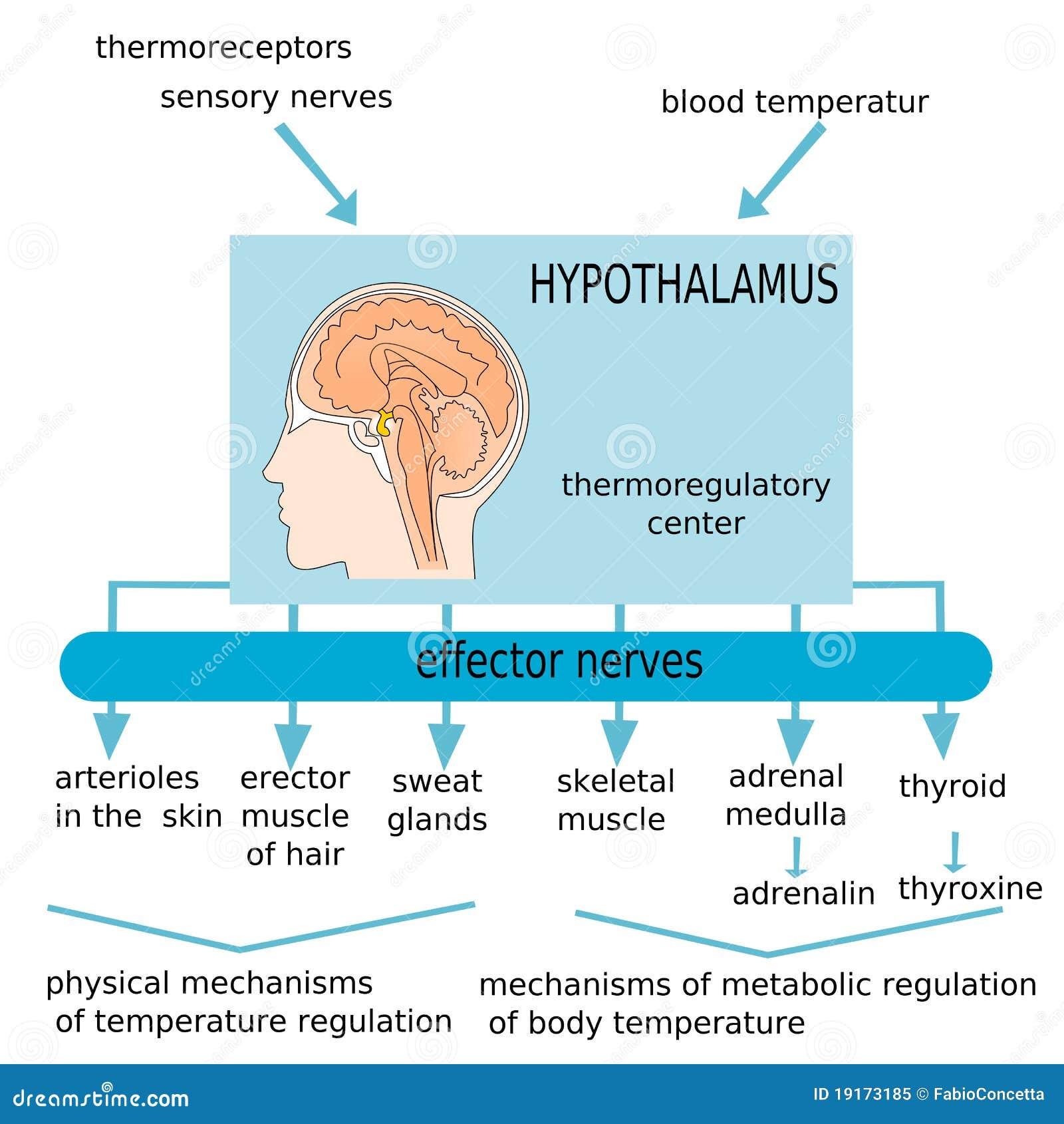 Hypothalamus Royalty Free Stock Photo Image 19173185