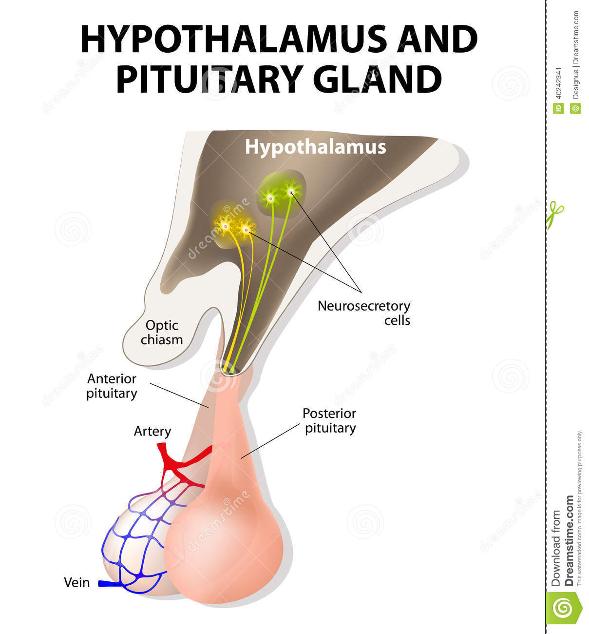 Hypothalamus And Pituitary Gland Stock Vector - Illustration of ...
