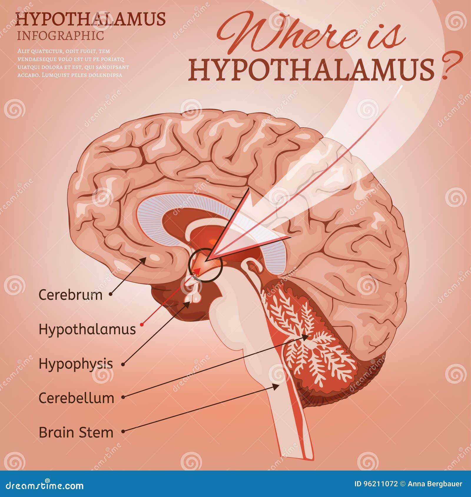 Hypothalamus Vector Image stock vector. Illustration of ...