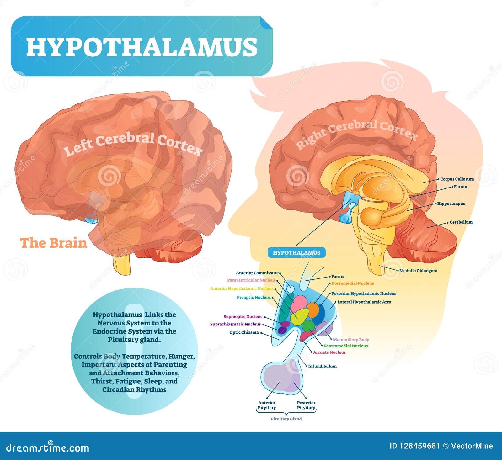Hypothalamus vectorillustratie Geëtiketteerd diagram met de structuur van het hersenendeel