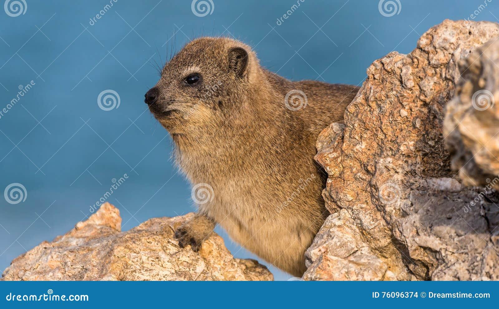 Hyrax de rocha