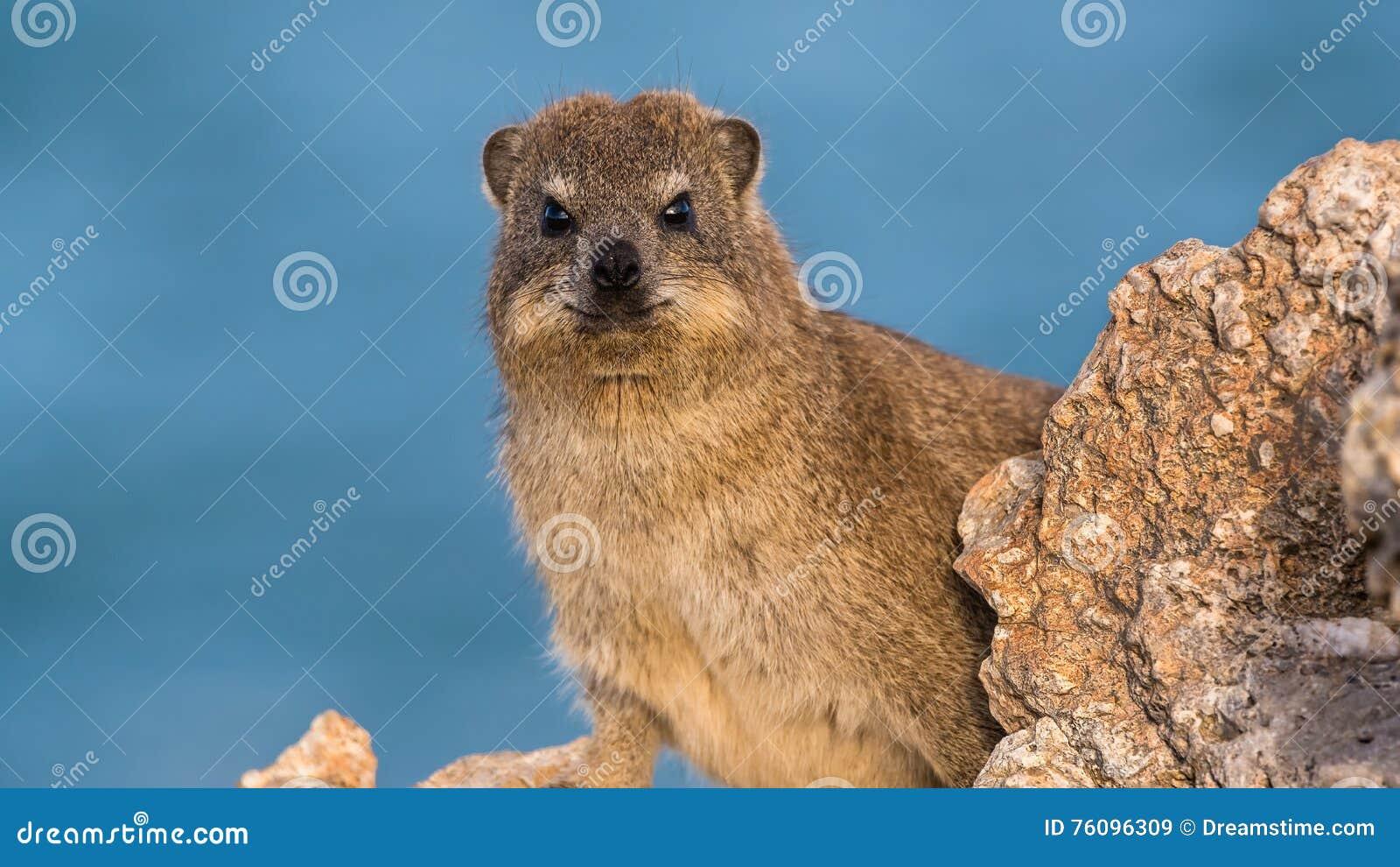Hyrax di roccia