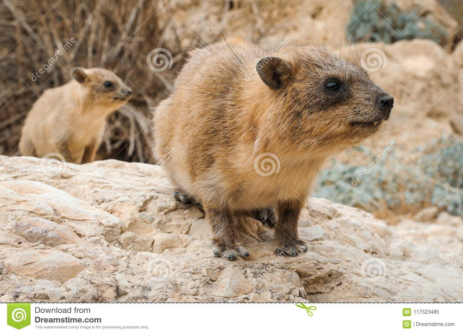 Hyrax y bebé de roca