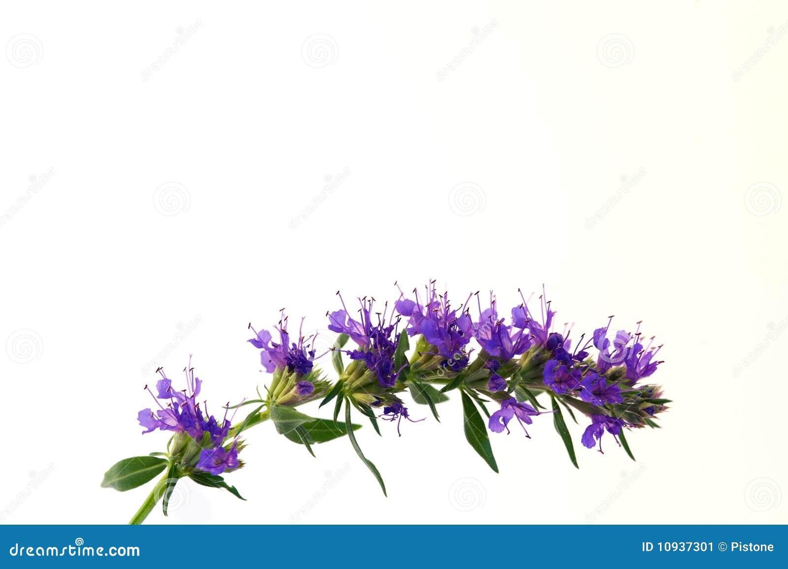 Hyssop сини цветений