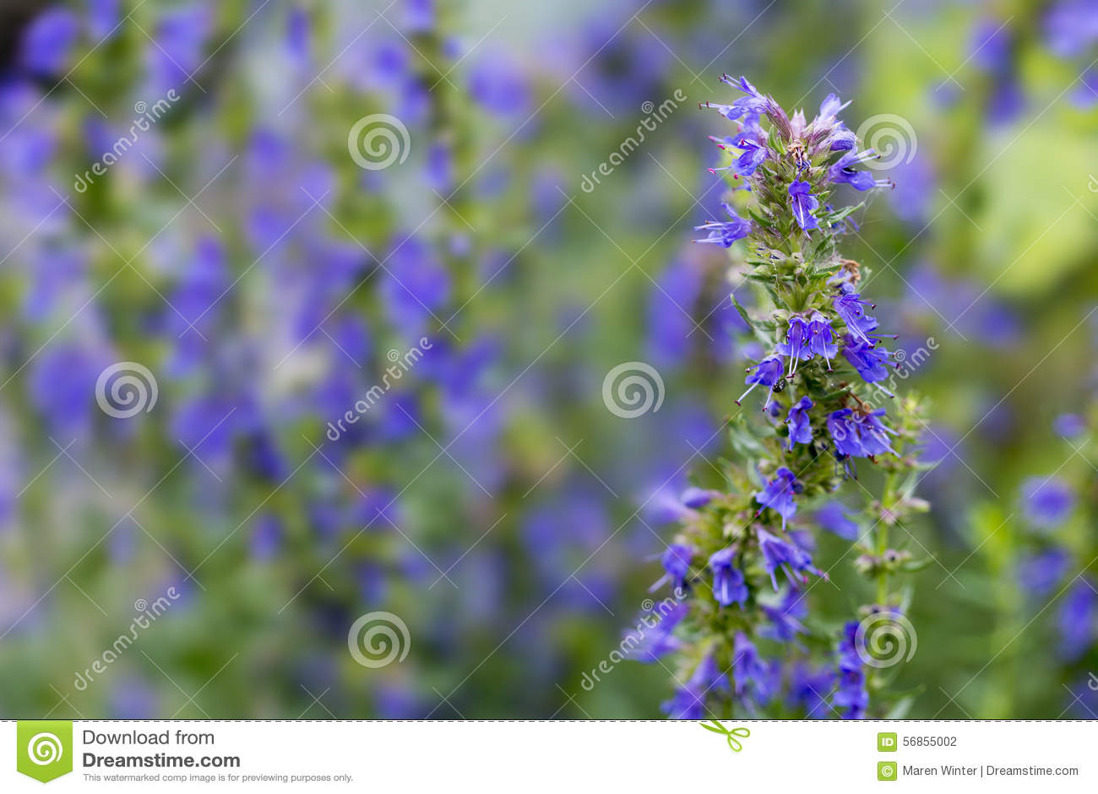 Hyssop flowers in the herb garden, blurred background