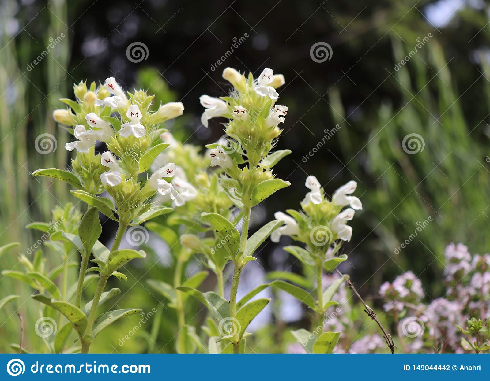 Hyssop-leaved mountain ironwort Sideritis hyssopifolia is a perennial herb native to southwestern Europe mountains.