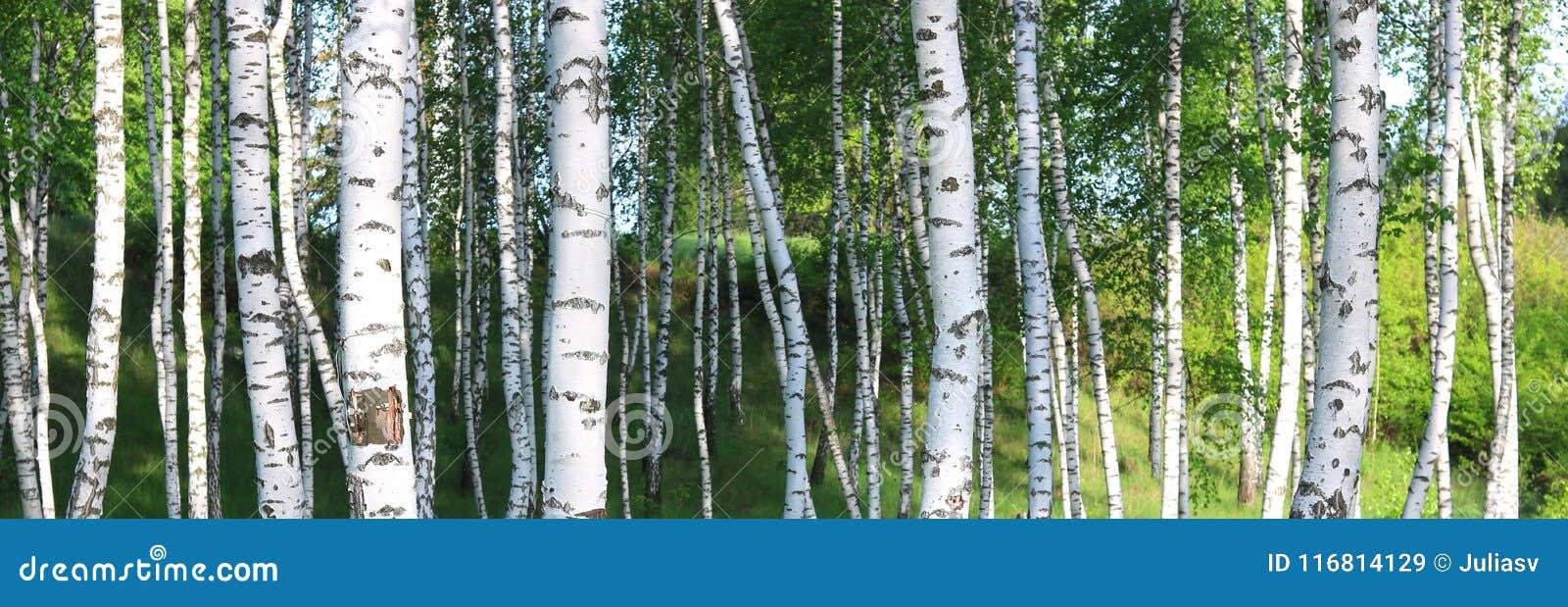 I bei alberi di betulla con la corteccia di betulla bianca nel boschetto della betulla con la betulla verde va