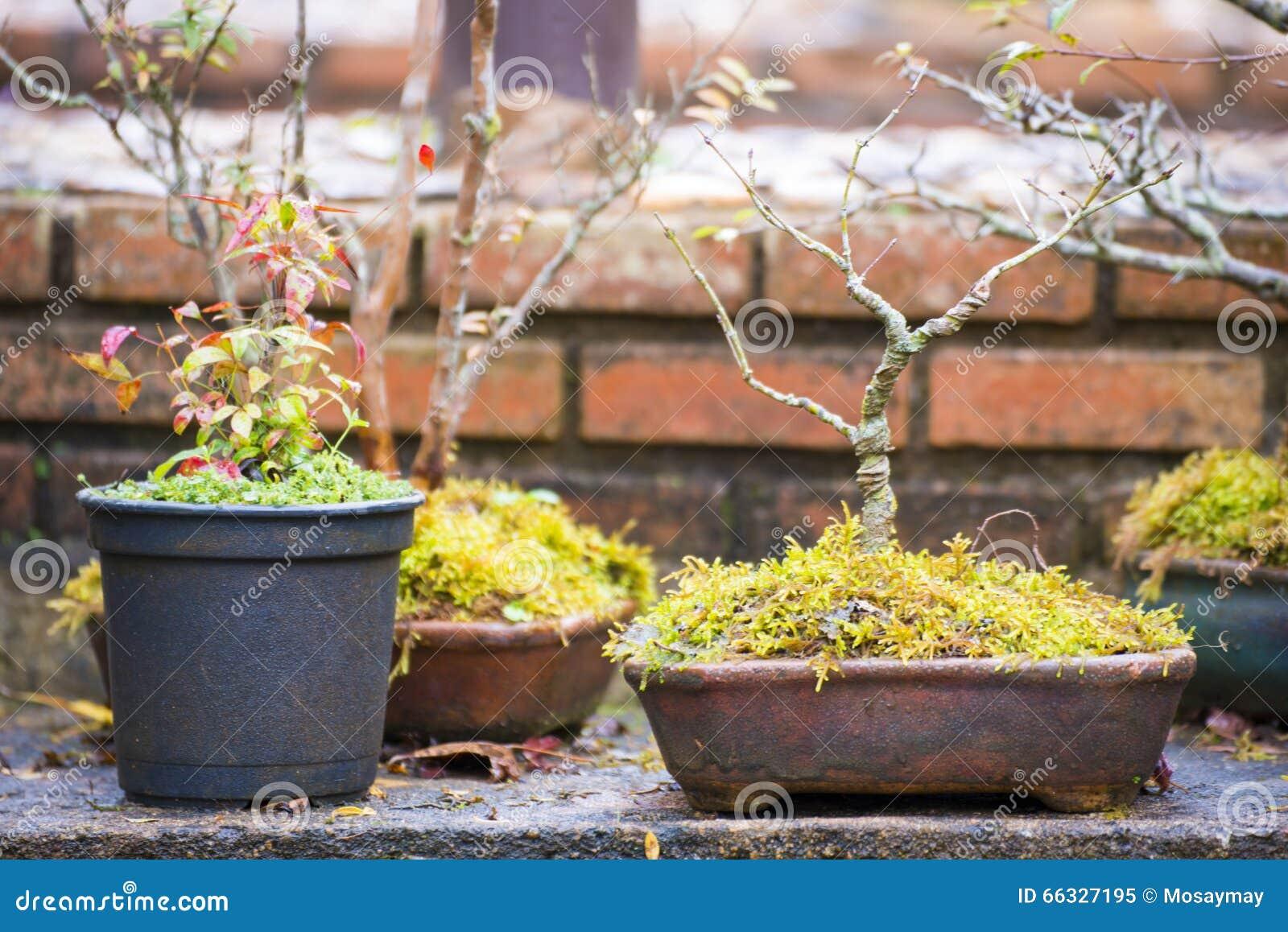 Decorazione Vasi Da Giardino : I bonsai piantano in un vaso da fiori per la decorazione del