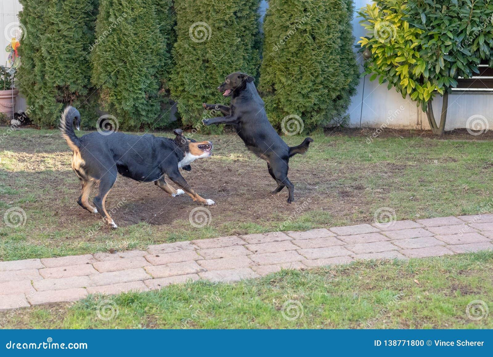 I cani Appenzeller e cucciolo che gioca o che combatte nel giardino