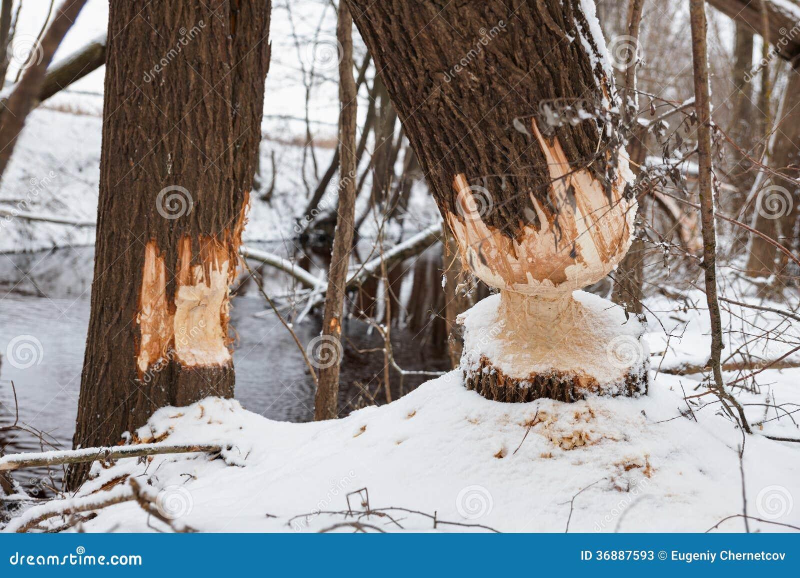 Download I Castori Dell'albero Rosicchiano L'inverno Immagine Stock - Immagine di danni, rosicchi: 36887593